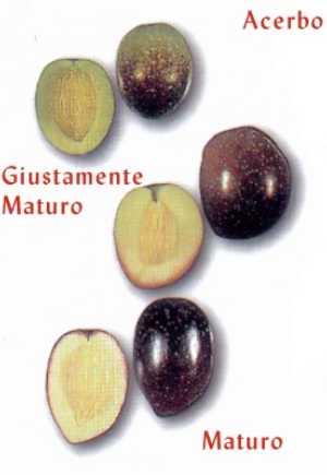 Indicazioni per la raccolta delle olive for Raccolta olive periodo