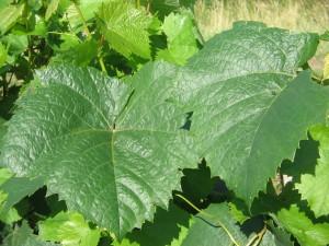 foglie di aligoté