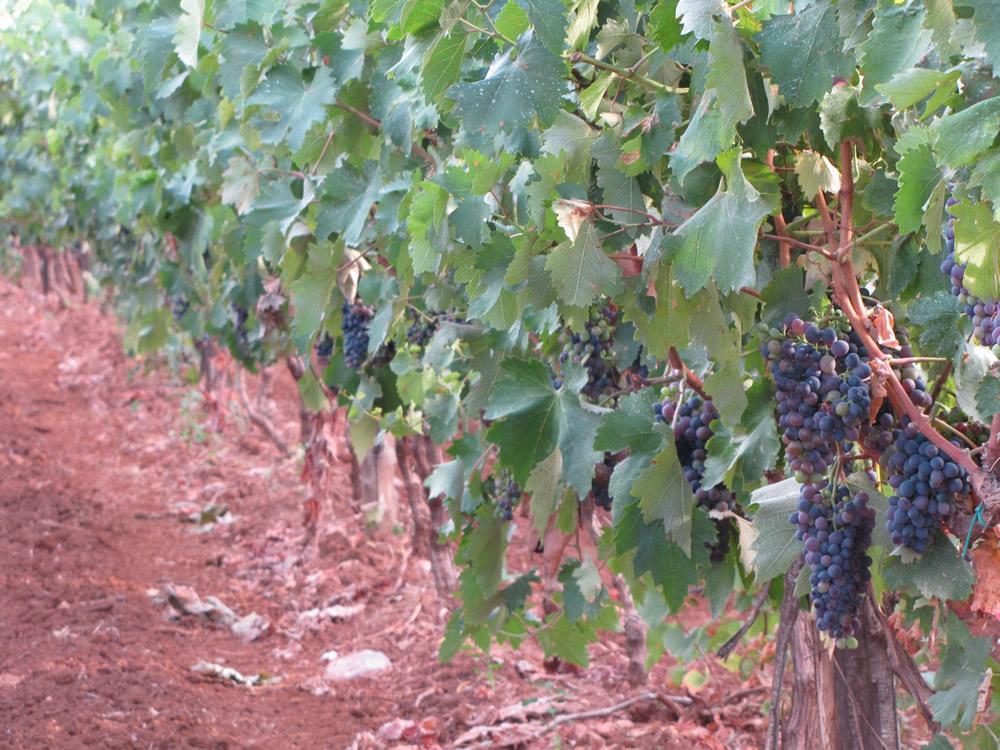 Winetaste denuncia da foggia si vinifica di notte - Uva da tavola coltivazione ...