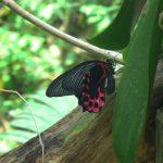 Farfalle/1