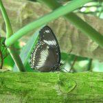 Farfalle/2