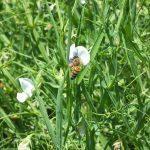 Ape su fiori di cicerchia: notare il polline sulle zampe