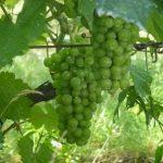 L'uva di Montmartre