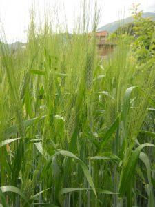 spiga di grano khorasan