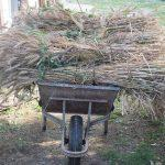 raccolta grano a mano