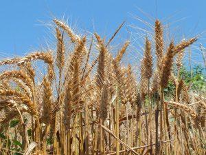 grano moderno prima della mietitura