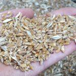 grano khorasan chicchi