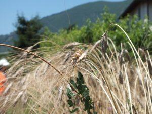 prima della mietitura: il khorasan e una pianta rampicante