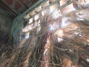 grano messo a essiccare prima della trebbiatura