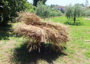 il grano è raccolto e legato