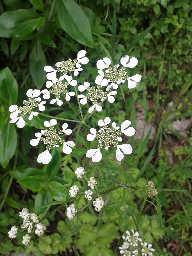 In vino veritas l acquabuona fiori bianchi for Pianta mediterranea con fiori rossi bianchi e gialli