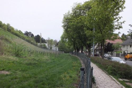 Grinzing, quartiere collinare di Vienna: le vigne in un contesto urbano