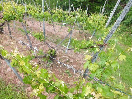 Dettaglio viti allevate a maggiorina