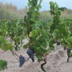 vineyard on sandy soil
