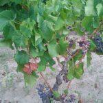 Cannonau grape variety
