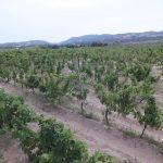 Vigne dell'Azienda Li Duni a Badesi
