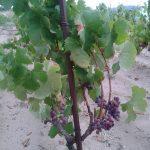 Caricagiola grape variety