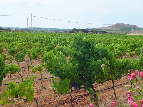 Nuraghe Crabioni vigne