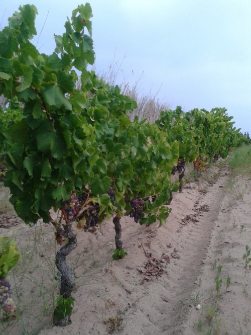 Ungrafted grapevines on sand, Sardinia