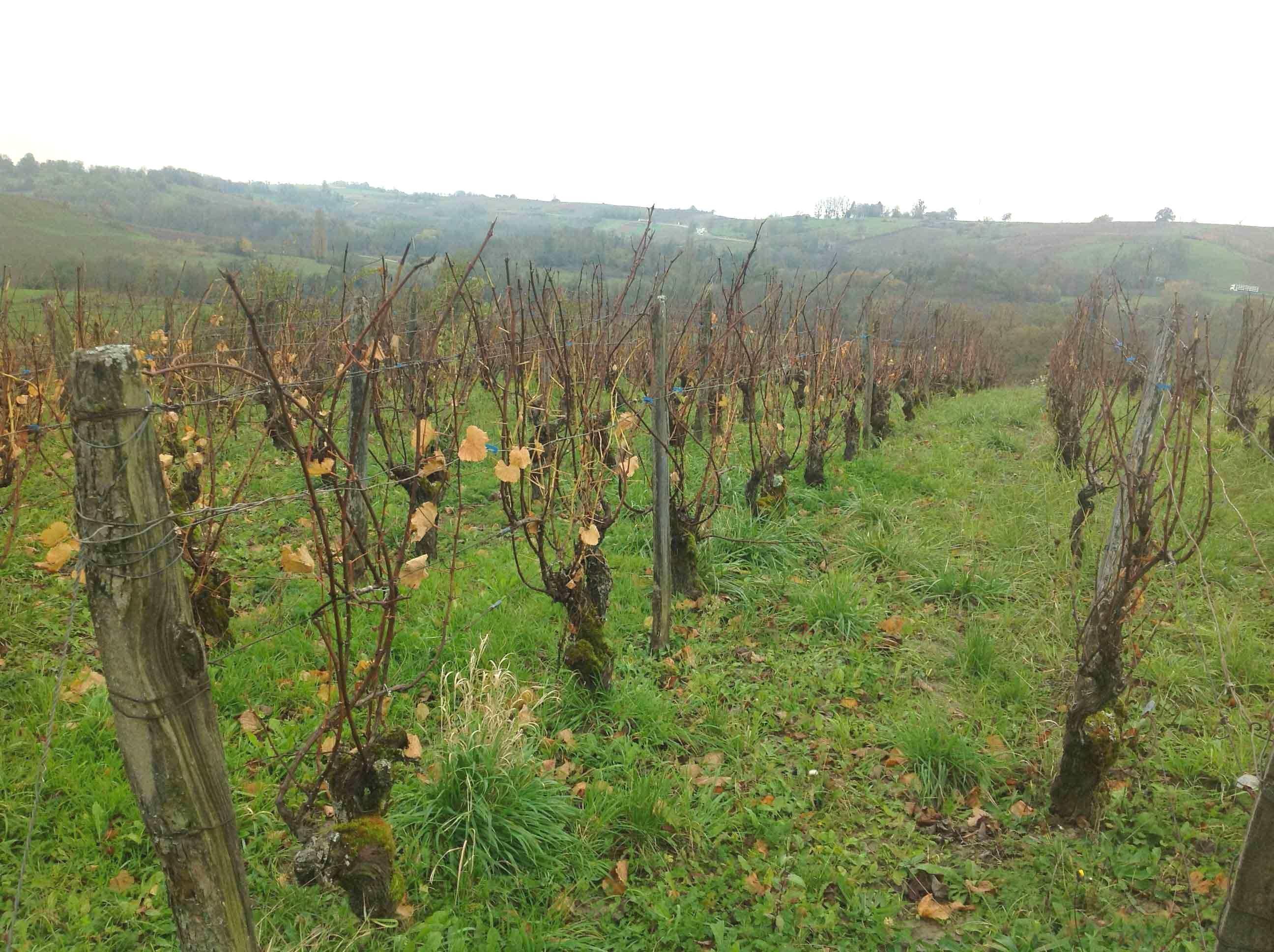 Foto-7-–-Le-vigne-di-Savagnin-del-Vin-Jaune