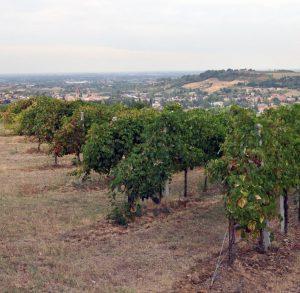 Vigneto-Vineyard