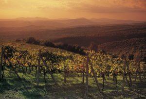 Montalcino_vigne