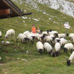 In alpeggio con le pecore