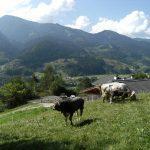 Mucche sopra il Maso