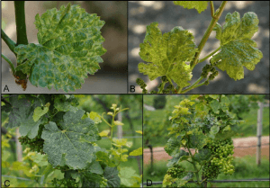 Fig-1-Chlorotic-mottling-and-leaf-deformations-in-the-cvs-Pinot-gris-A-and-B-and
