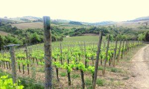 gianni-brunelli_-vigne-podernovone_1