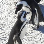 pinguini Boulders Beach