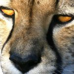ghepardo primo piano