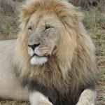 leone maschio adulto