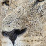 leone primo piano