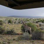 panorama giraffe