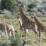 famiglia giraffe
