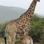 allattamento giraffa
