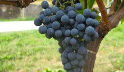 Ridotto il rame in viticoltura: strategie agronomiche e fitoiatriche (seconda…