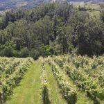 Vigne e boschi