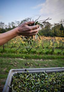 006-la-raccolta-delle-olive