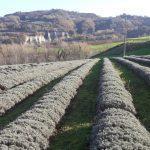Campo di Lavanda di Matteo Bolognesi