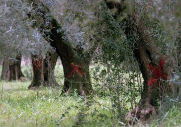Xylella in Toscana: nessun allarme!