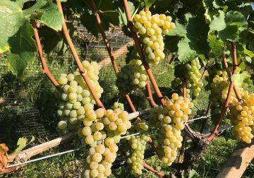 4 e 5 maggio: a Penone/Cortaccia (BZ) occhi puntati sul Sauvignon Blanc