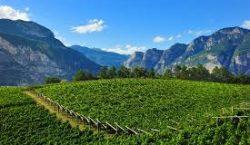 Trentino: notizie fresche dal fronte (della vigna)