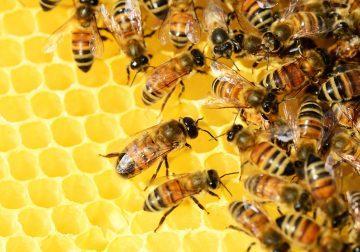 L'allarme dei produttori di miele: crollata del 70% la produzione delle api