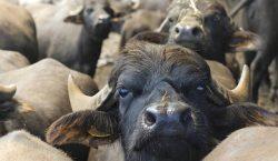 La prospettiva del bufalo. Vini fuori dal coro. Toscana/2